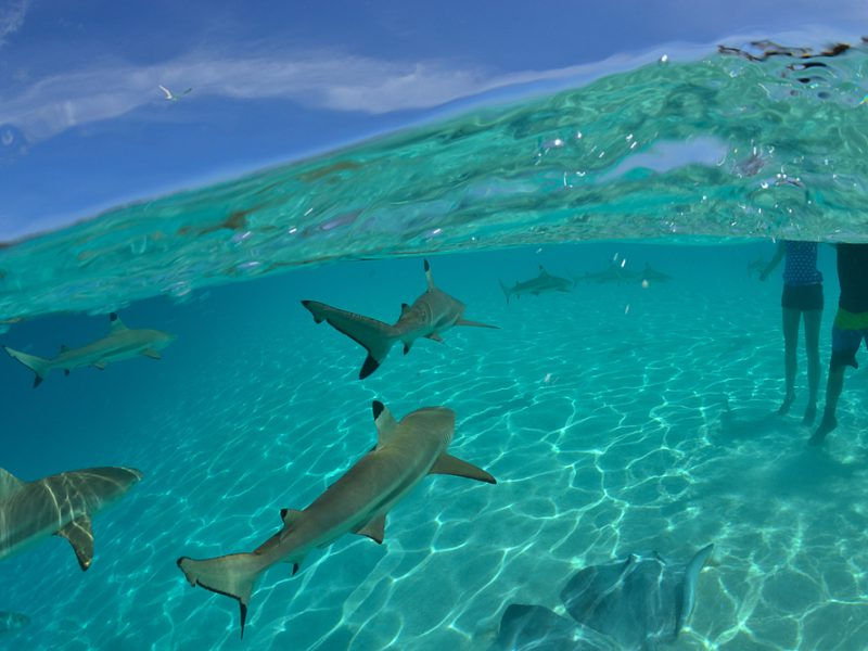 Moorea Shark and Ray